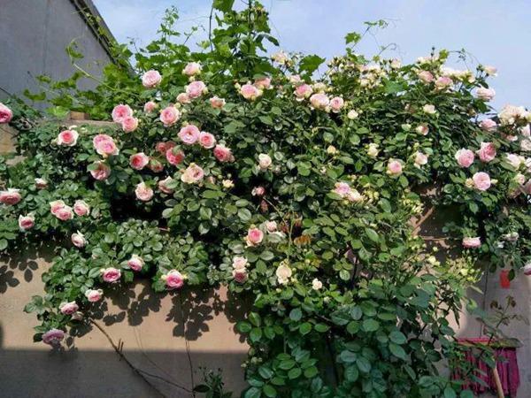 藤本月季几年可以长成花墙
