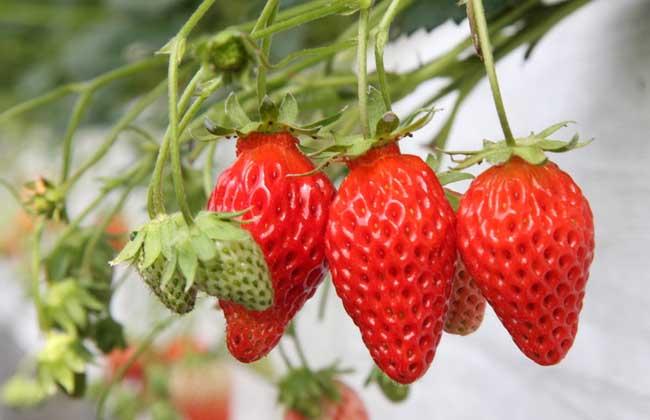 适合大面积种植的草莓品种推荐