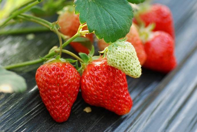 草莓的产地分布和生长环境