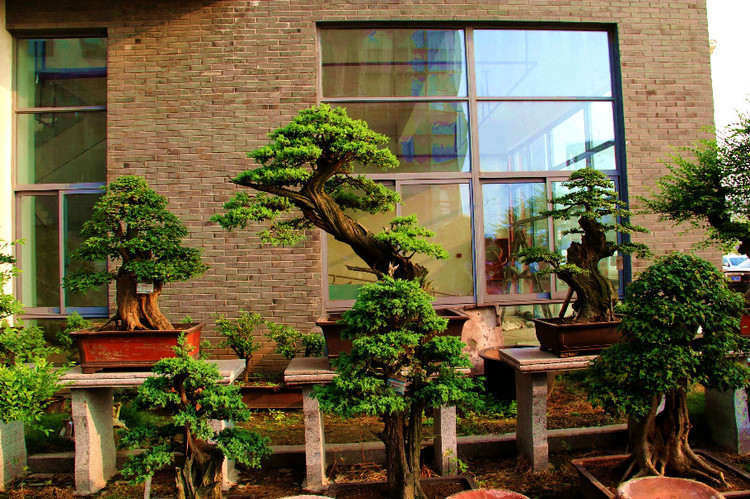 适合制作树木盆景的树种有哪些