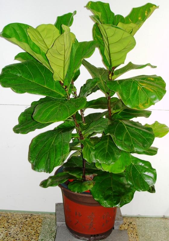 琴叶榕种植栽培