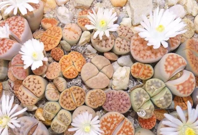 生石花栽培养殖用土