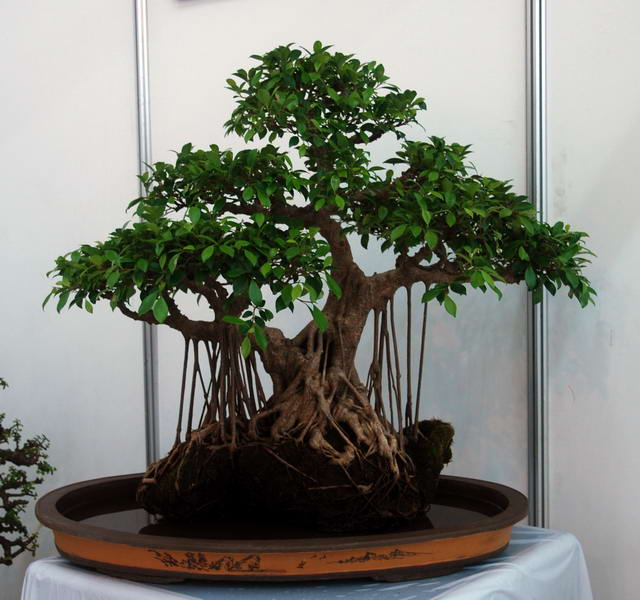 榕树盆景如何制作