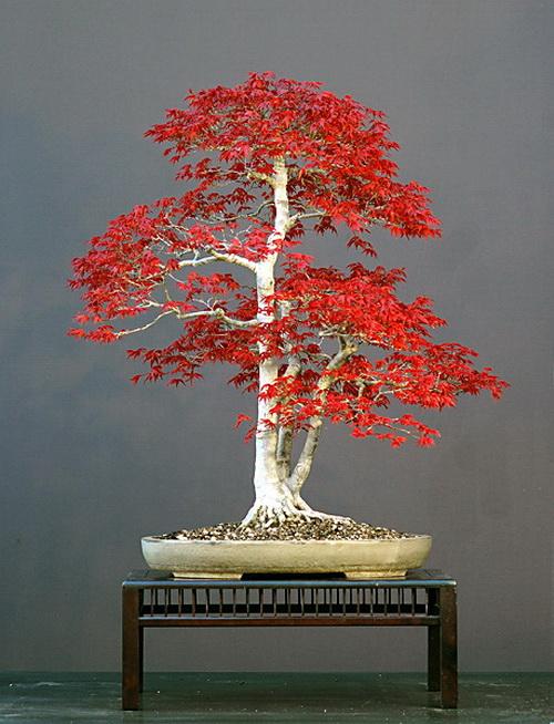 盆景艺术欣赏——叶木盆景