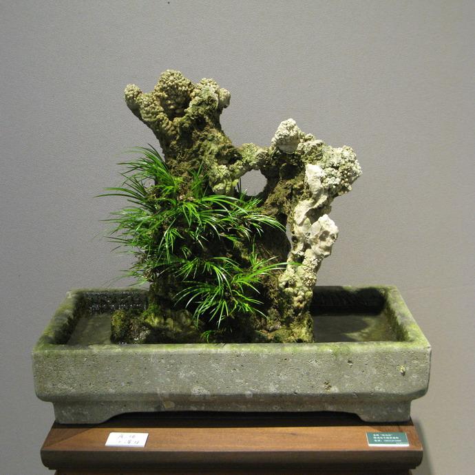 菖蒲盆景欣赏