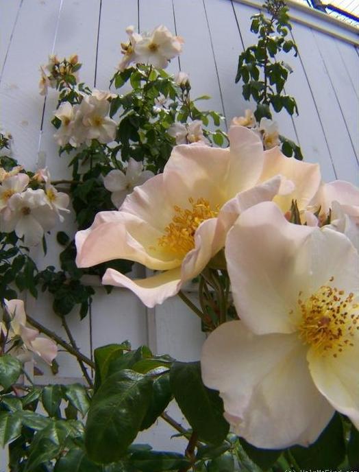 月季花——莎莉福尔摩斯(Sally Holmes)