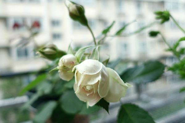 月季花——绒球门廊(Pompon Veranda)