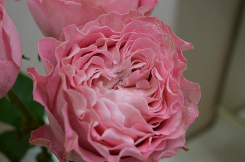 月季花——唯有樱花(All for cherry blossoms,オール4サクラ+)