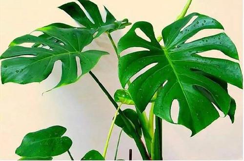 龟背竹怎么养才能长得更壮