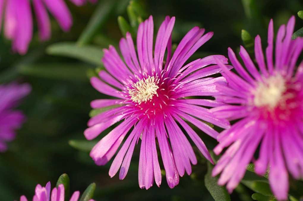 松叶菊的花语