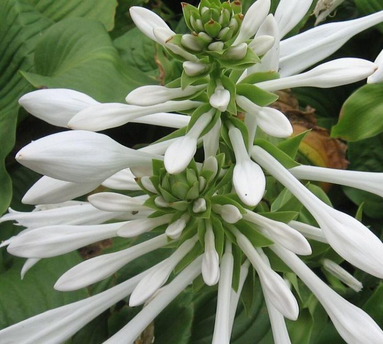 玉簪花的花语和传说