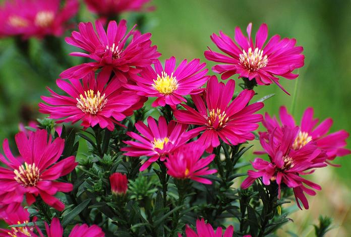 荷兰菊的花语