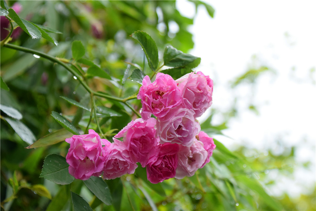 蔷薇的花语