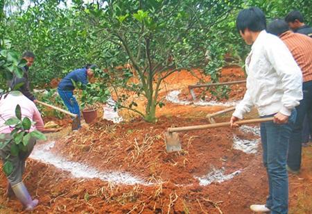 红肉蜜柚夏季怎么管理?红肉蜜柚病虫害防治