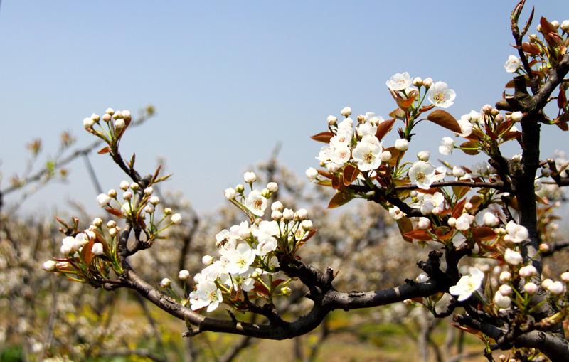 梨树如何进行疏花疏果