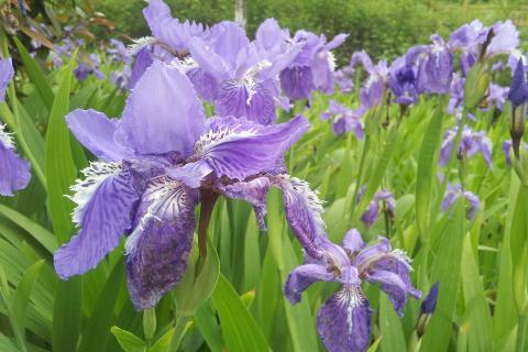 鸢尾什么时候开花?影响鸢尾开花的因素