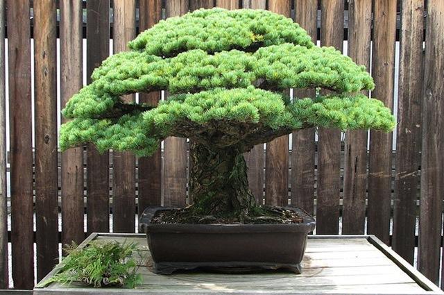 高寿的松树盆景