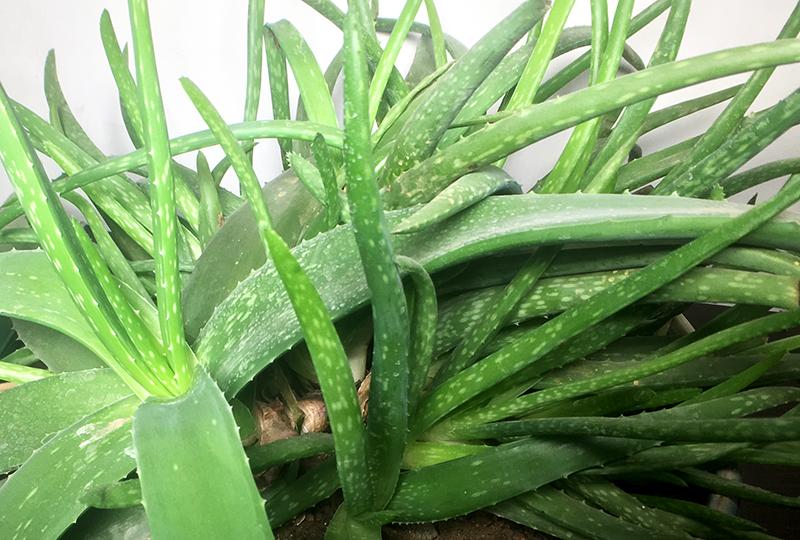 芦荟怎么养不断的长侧芽,轻松爆盆!