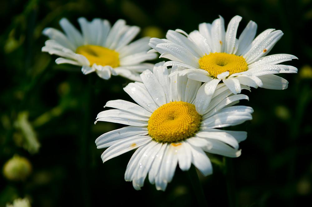 雏菊的花语和传说