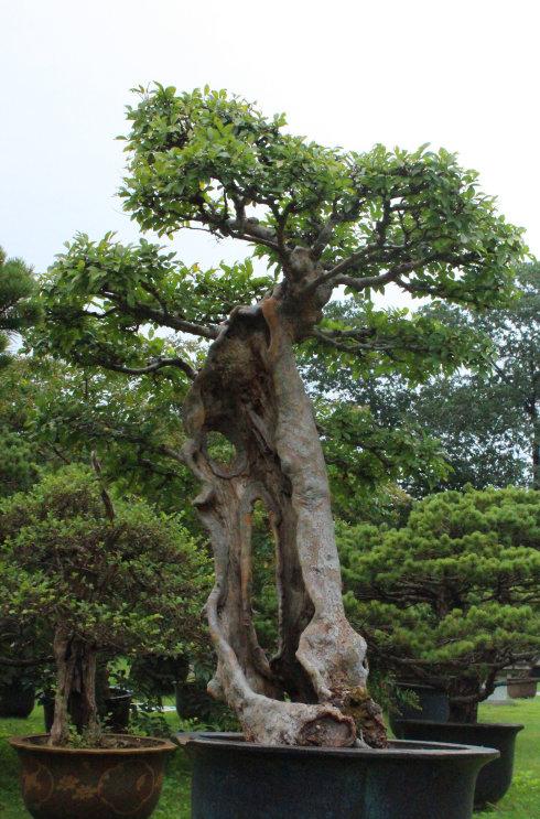 树桩盆景的一般制作方法