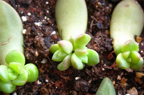 多肉植物叶插的方法