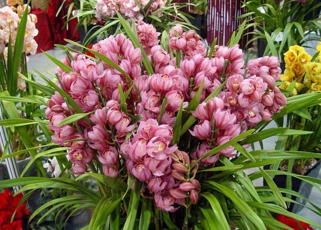 大花蕙兰的常见分类以及品种