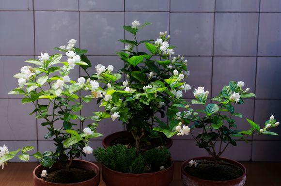 茉莉花生长习性和栽培管理要点