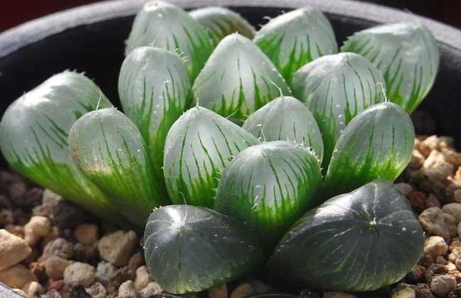 多肉植物玉露常见品种大全