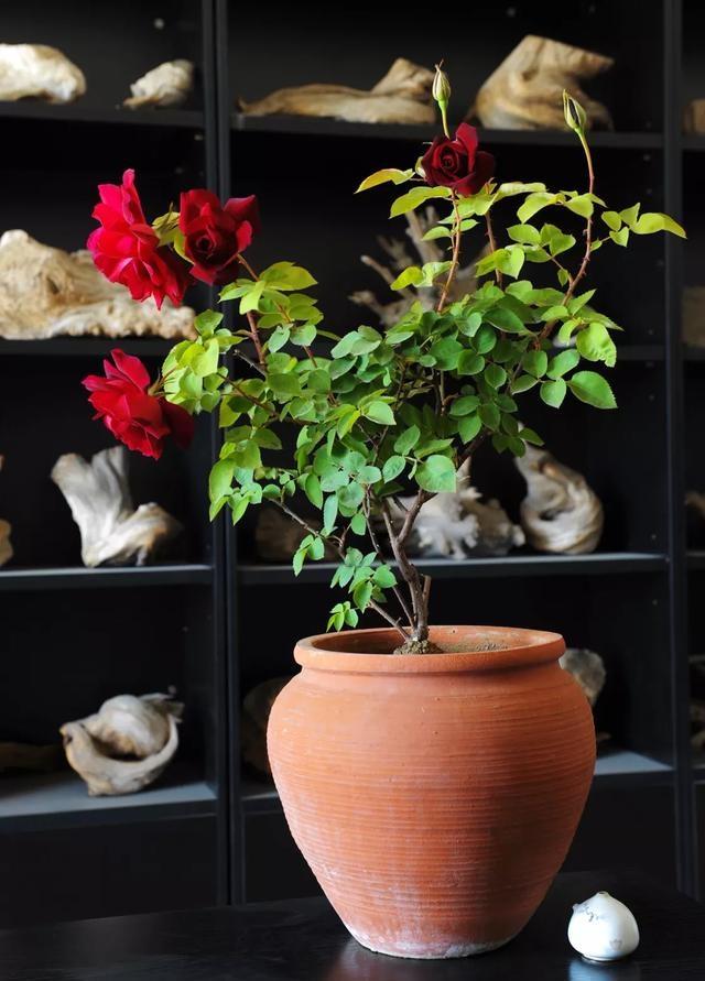 盆栽月季需要每年换盆换土吗?