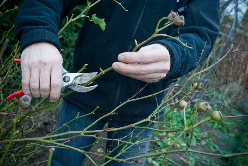 灌木月季怎么修剪