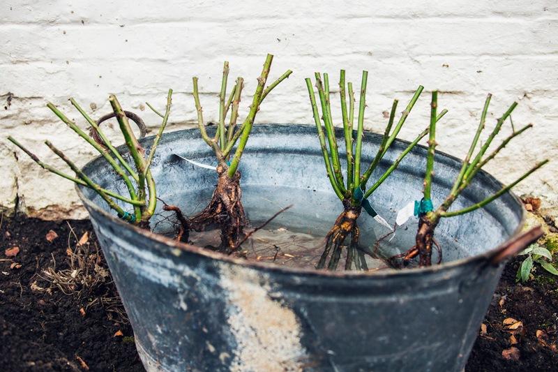 裸根灌木月季怎么地栽?