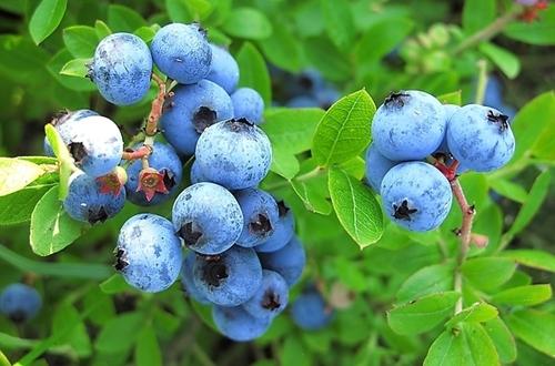 盆栽蓝莓的种植管理方法及注意事项