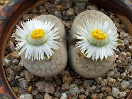 碧赐玉系,一个很难养的生石花品种