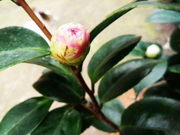 茶花的繁殖方法