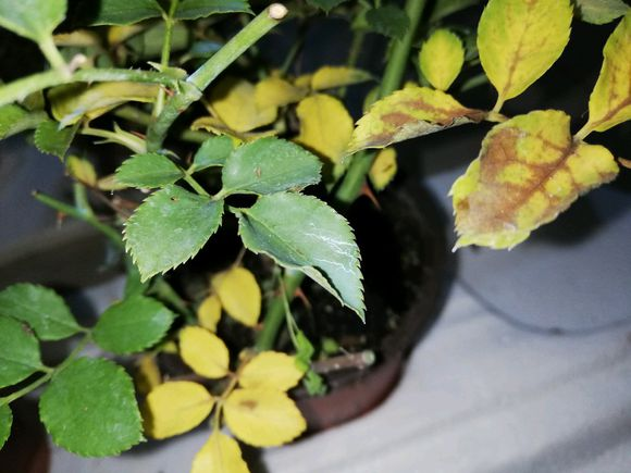 盆栽月季花为什么黄叶?