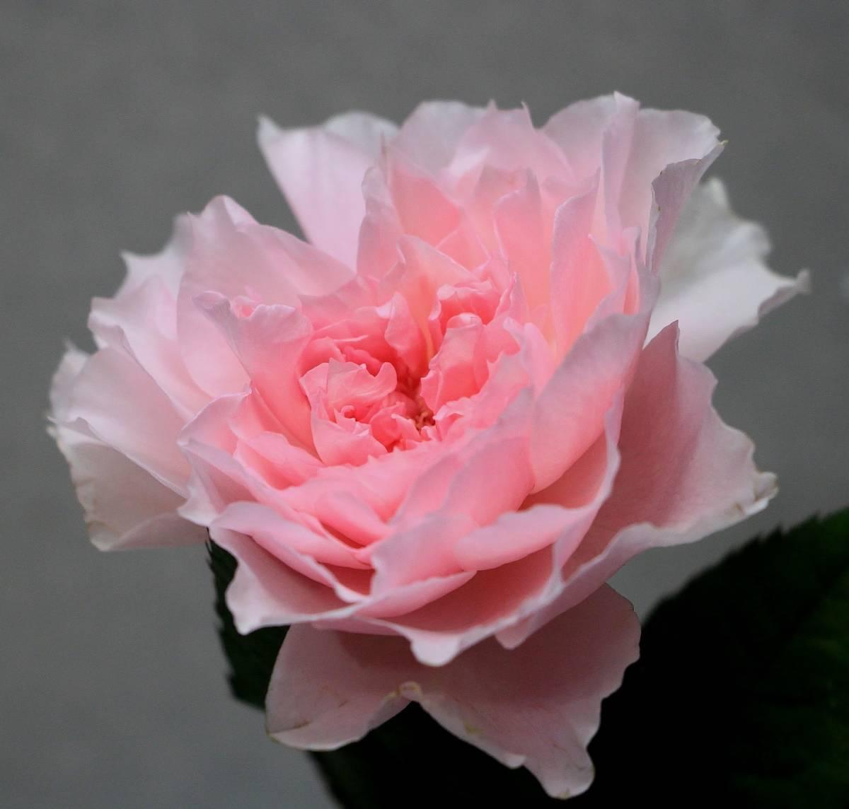 月季花——美咲(Misaki,みさき)
