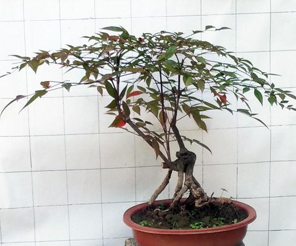南天竹可以在室内养殖吗?