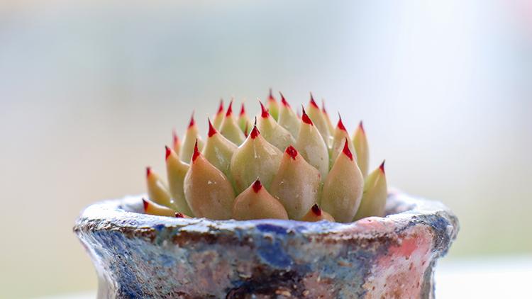原始绿爪 Echeveria cuspidata var. zaragozae