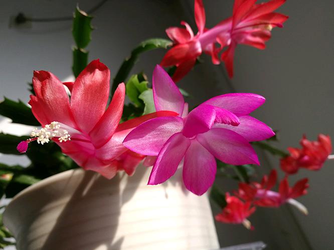 蟹爪兰什么时候开花?蟹爪兰的花期是几月份