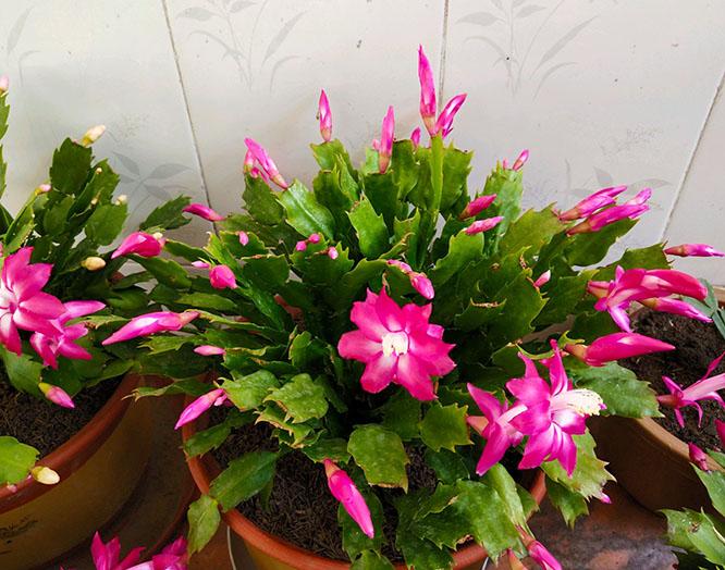 家里养这几种花,整个冬天开花不断!
