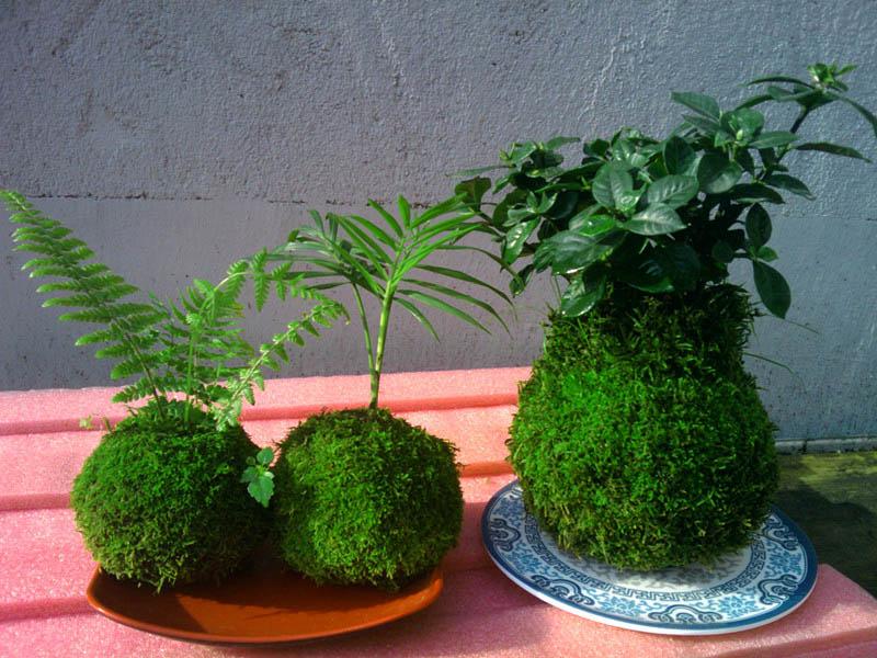 苔玉盆景的制作和欣赏