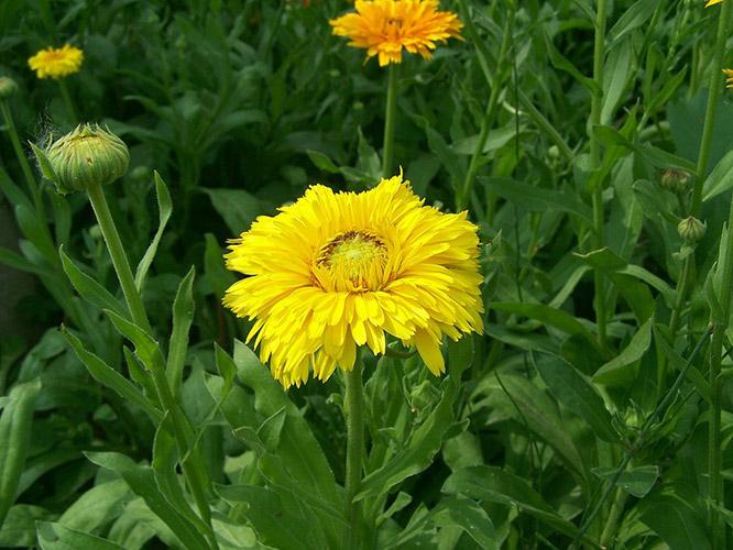 金盏菊怎么播种?金盏菊的播种方法