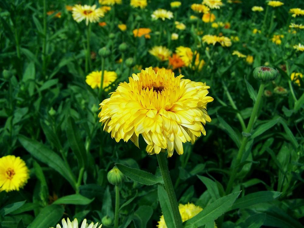 漂亮的金盏菊