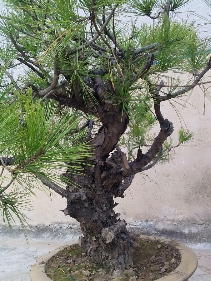 马尾松盆景制作要点和注意事项