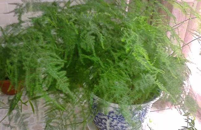 文竹的繁殖方法