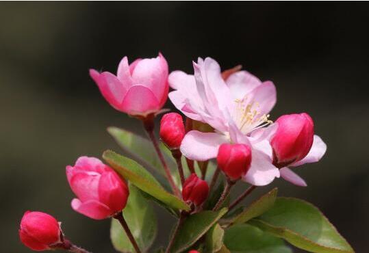 西府海棠花语:美丽、娴静