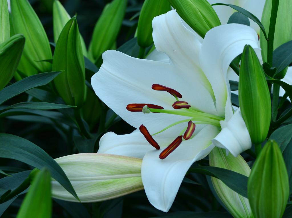 百合花的花语是什么?不同颜色百合花的花语