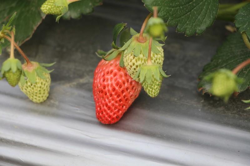 影响草莓品质的因素