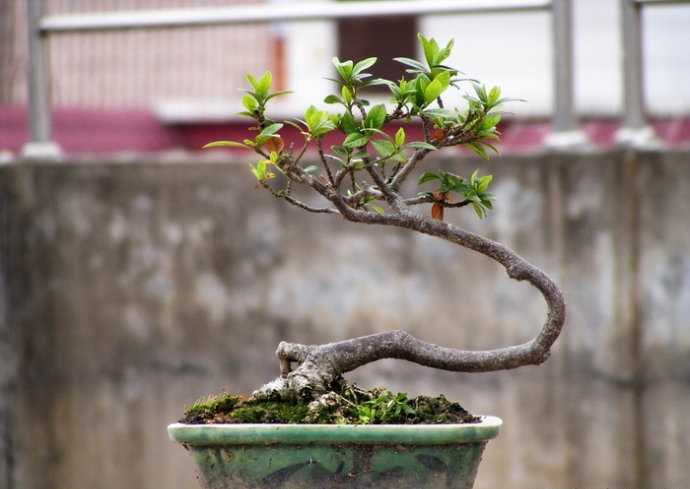 小型盆景的制作及养护