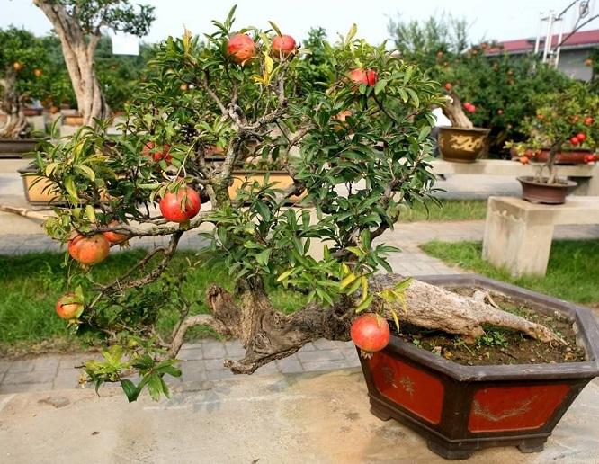 石榴盆栽的栽培管理